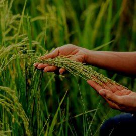 изучение пшеницы